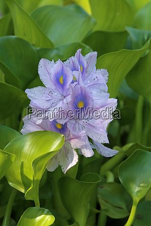 flowering water hyacinths eichhornia