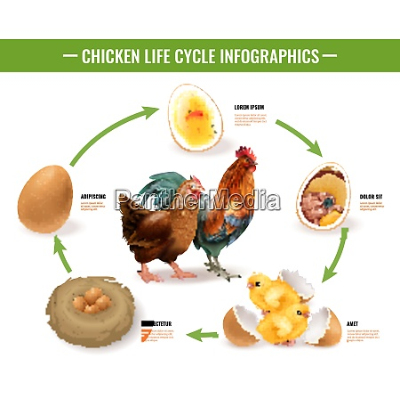 chicken life cycle stages realistic infographic