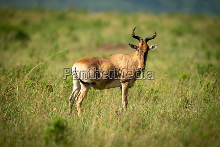 coke hartebeest stands on savannah watching