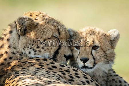 close up of cheetah lying asleep