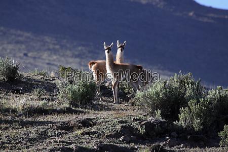 highland lama