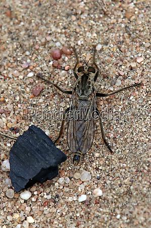 sand raubfliege philonicus albiceps