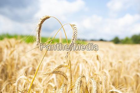 weizenohren auf einem maisfeld