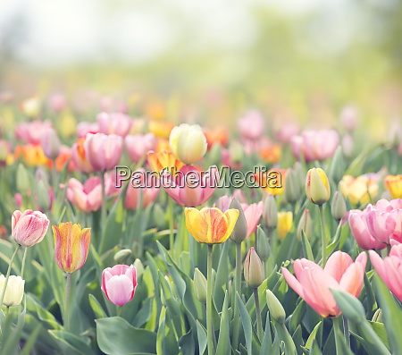 tulip flowers meadow spring nature background
