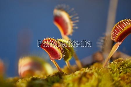 venus fliegentrap fleischfressende pflanze