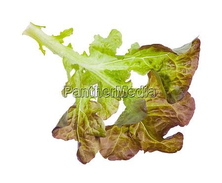 zweig eichenblattsalat isoliert auf weiss