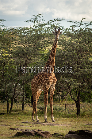 masai giraffe stands near trees watching