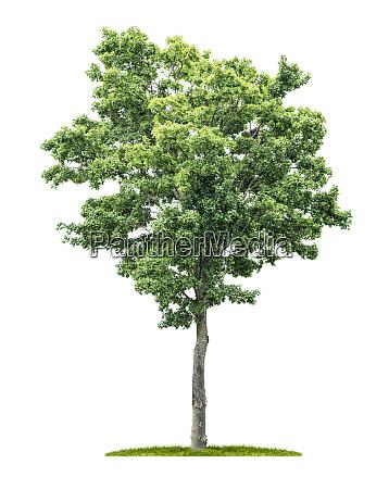 ein isolierter ahornbaum auf weissem hintergrund