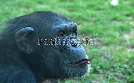 schimpansen im zoo im sommer ersticken