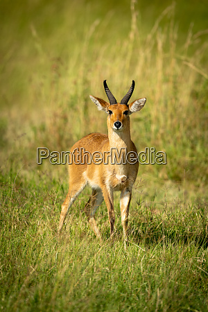 reedbuck stands in long grass watching