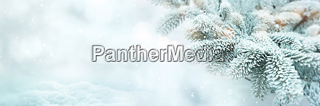 winter scene background with fir branches