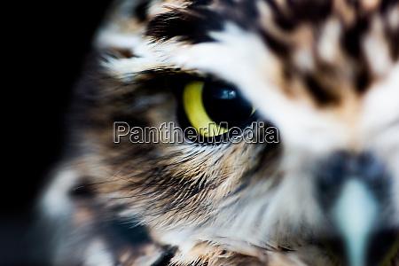 little owl athene noctua wheatley oxfordshire