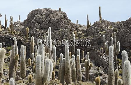 large, cacti, at, incahuasi, island, , salar - 27276968