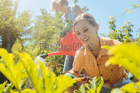 senior woman watering the vegetables while