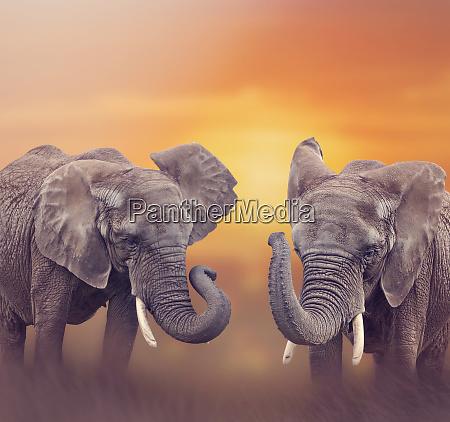 afrikanische elefanten im grasland