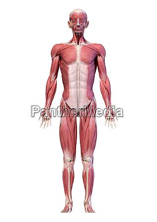 menschlicher koerper volle figur maennlichen muskelsystem