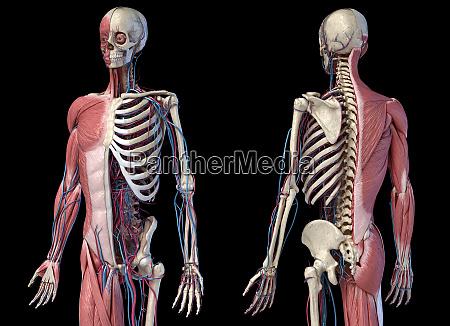 menschliches 34 koerperskelett mit muskeln venen