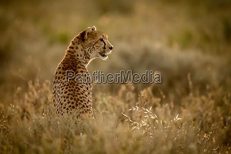 weiblicher, gepard, (acinonyx, jubatu), sitzt, im - 27287777