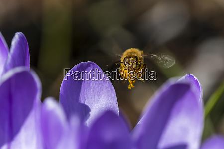 eine honigbiene besucht krokusblueten astoria oregon