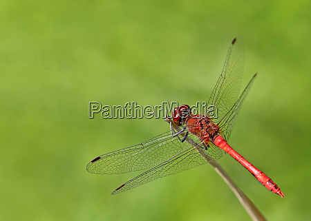 male blood red heather ibelle sympetrum