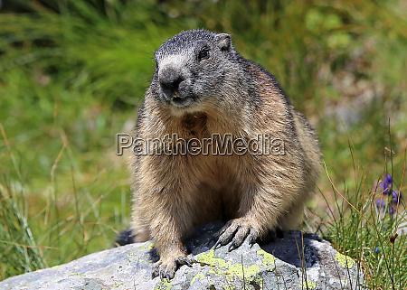 alpenmurmeltier marmota marmota frontal