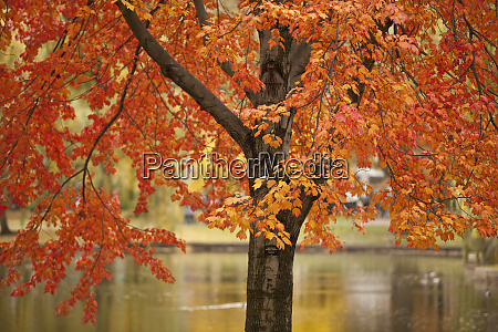 red maple tree with the public