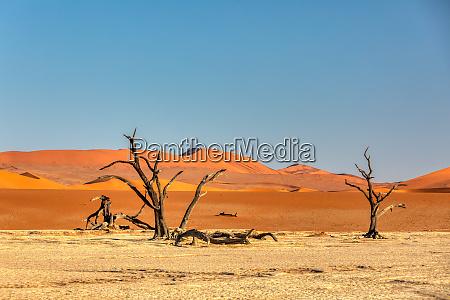 trockener akazienbaum tot in sossusvlei namibia