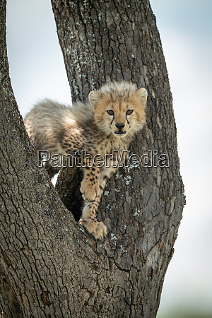 cheetah cub stands in tree watching
