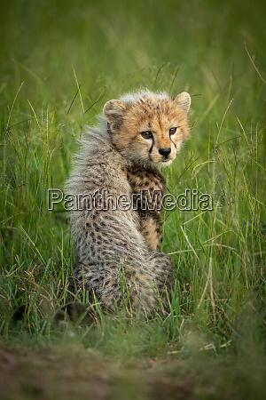 gepardenjunge sitzt im gras und blickt