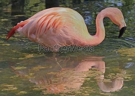 flamingo mit spiegelbild im wasser
