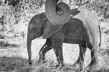 afrika botswana chobe nationalpark schwarz und