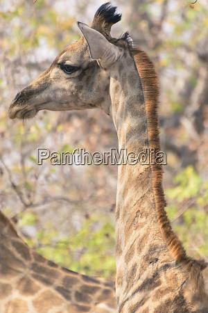 botswana chobe nationalpark giraffe giraffa camelopardalis