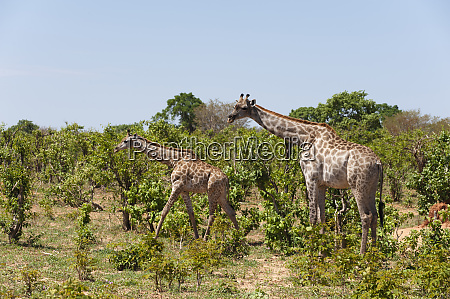 southern giraffe giraffa camelopardalis chobe national