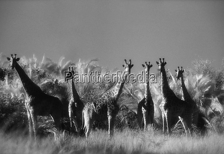 retikulierte giraffe steht im wald