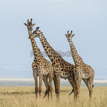 ostafrika kenia maasai mara national reserve