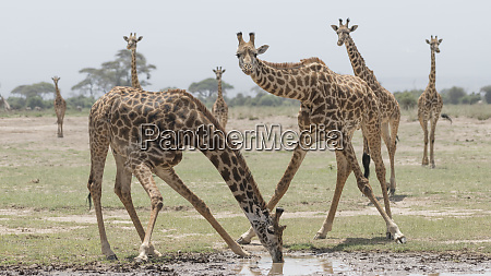 africa kenya amboseli national park giraffe