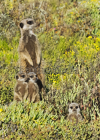 meerkat family western cape province south