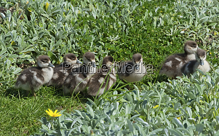 egyptian goose mother with ducklings knysna