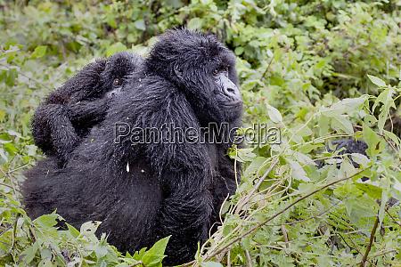 virunga mountains rwanda africa mountain gorillas
