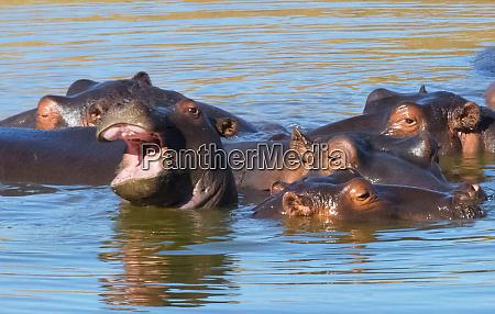 flusspferde im fluss mkhaya game reserve