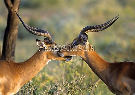 zwei impalas standing cheek to cheek