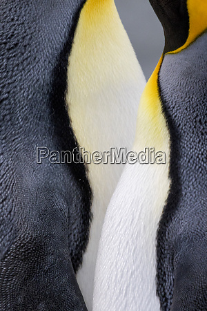 king penguin close up showing the