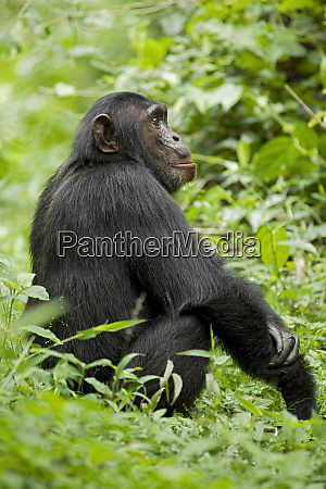 africa, , uganda, , kibale, national, park, , ngogo - 27326035