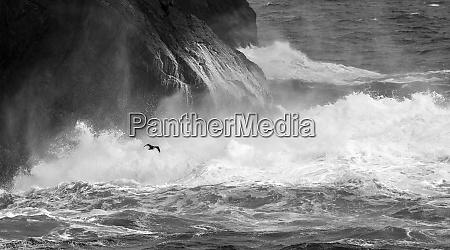 antarctica, , south, atlantic., cormorant, flying, over - 27326767