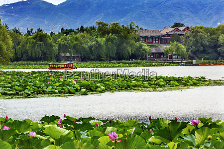 pink lotus pads garden boat buildings