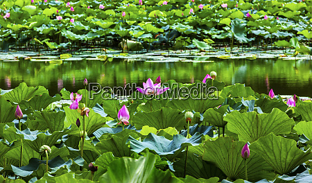 pink lotus pads garden reflection summer