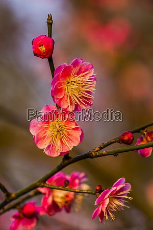 plum blossoms prunus mume west lake
