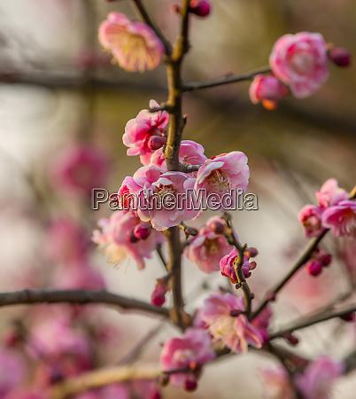 plum blossoms west lake jiangsu province