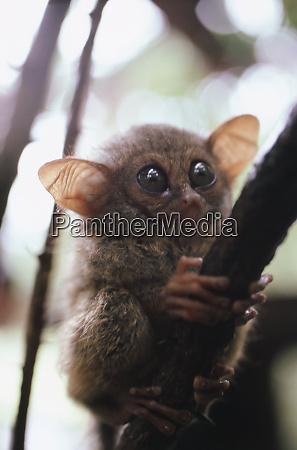 wildtarsier sitzend auf baum n sulawesi