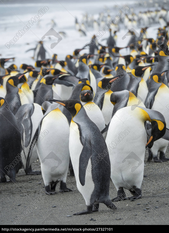king, penguin, (aptenodytes, patagonicus), auf, der - 27327101
